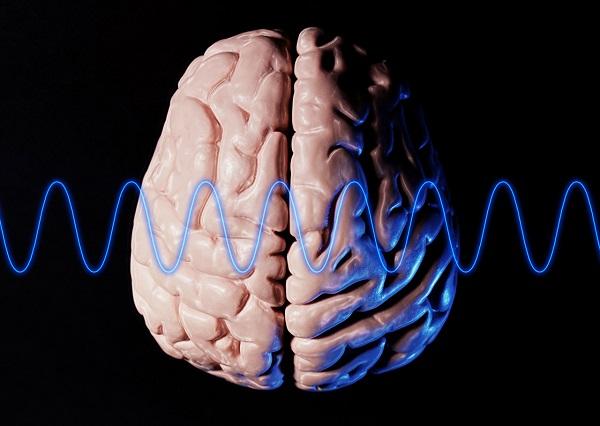 脳模型(CG)