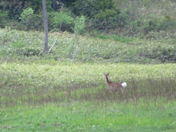 鹿も日中現れる時がある