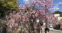 有馬温泉桜