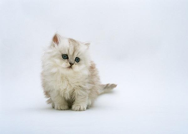猫を家に迎えるには最大11万円!年間・毎月どのくらいの費用がかかるのか